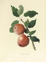 Thomas Andrew Wright a horticulturalist & botanist from Herefordshire England who published the renowned book in 1797 a Treatise on the Culture of the Apple and Pear, and on the Manufacture of Cider and Perry.