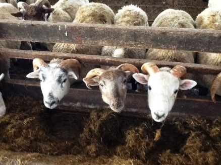 Well hello there! 3 of Farmer Derek's 1000+ sheep.