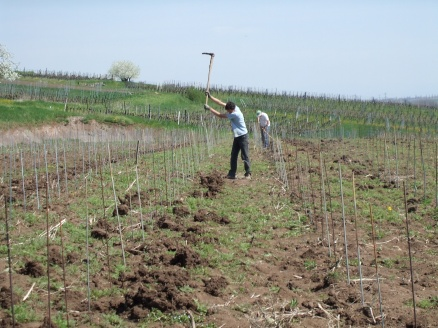 Planting vines in the same manner as the Romans did 2000 years before