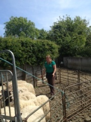Helping out a neighboring sheep farmer, corral and feed them through to the sheep shearers.