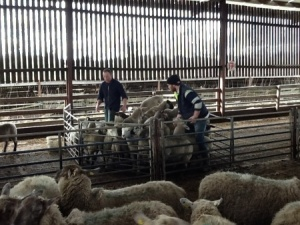 Derek Brangan & son Adam, part of a long line of Ardcath Ireland sheep farmers.